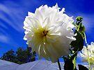 White Dahlia by sstarlightss