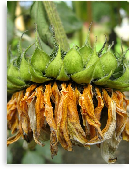 Withered Sunflower no.5 by Orla Cahill Photography