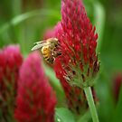 Crimson Clover by Colleen Drew