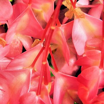 Plantae: Begoniaceae: Cucurbitales: Begonia Flowers by gigges