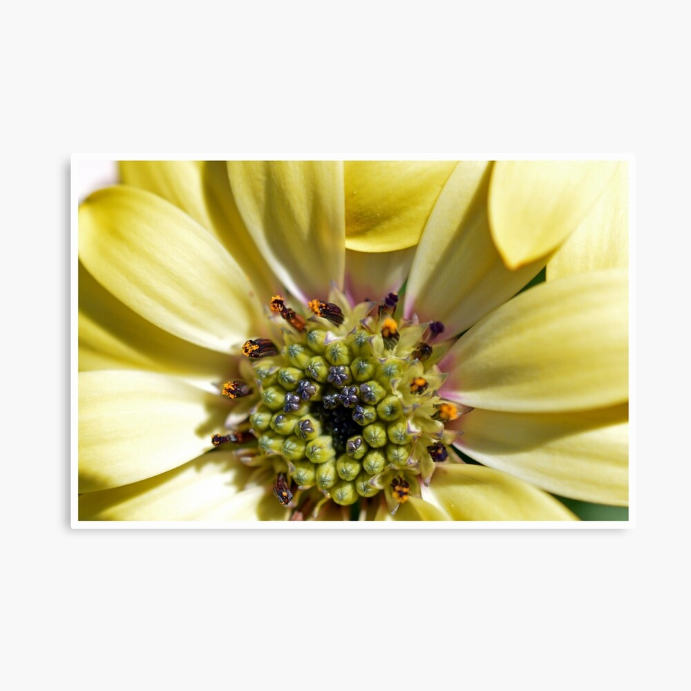 Yellow Daisy Close Up Lienzo