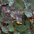 Rose Leaves with Rain drops by TeAnne