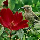 Sunbird and rose by Erika Gouws