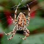 Garden Cross Spider (araneus diadematus) by AnnDixon
