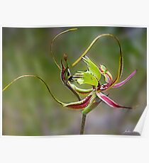 Mantis Orchid Poster