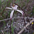 White Spider Orchid by JuliaKHarwood