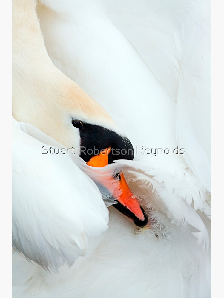 Preening Swan by Sparky2000