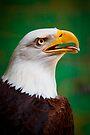 Bald Eagle by Stuart Robertson Reynolds
