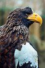 Steller's Sea Eagle by Stuart Robertson Reynolds