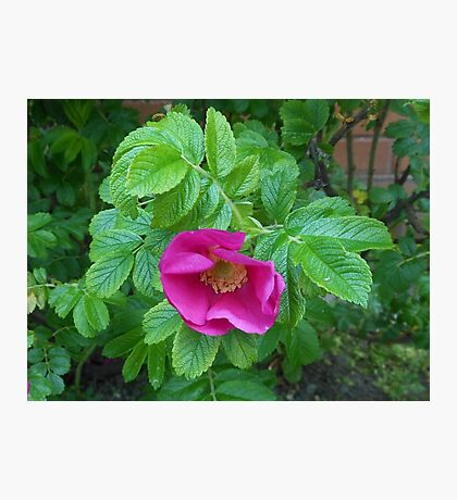 Shy Rose Photographic Print