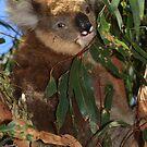 Koala by Stuart Robertson Reynolds