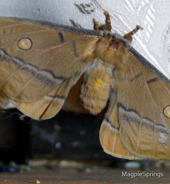 Opodiphthera helena -Adelaide Hills / Fleurieu Peninsula - Nature by MagpieSprings