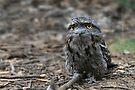 Tawny Frogmouth by Stuart Robertson Reynolds