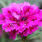 Dianthus flower  by aussiebob
