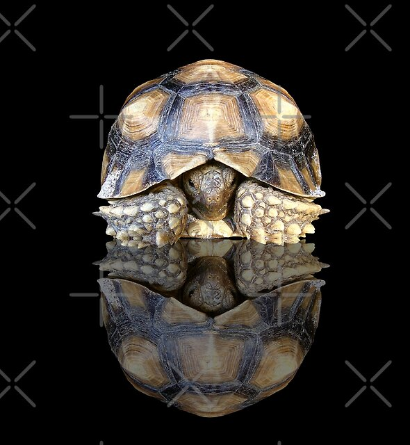 Juvenile Sulcata Tortoise with Reflection by misimichu