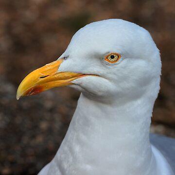 European Herring Gull  by gigges