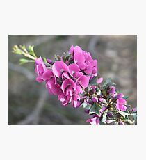The Holly leaved mirbelia Photographic Print