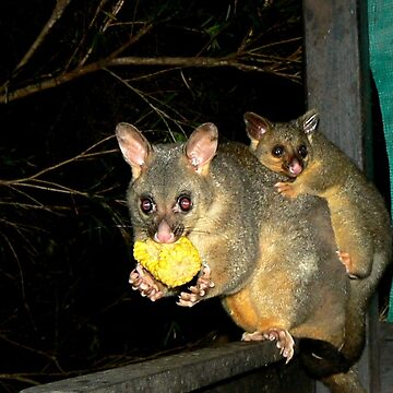 Brushtail Possum and Baby by ginnymac