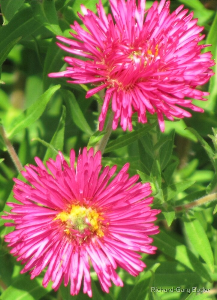 Asters in Hot Pink by Richard-Gary Butler