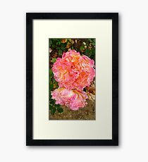 Folded Pink and Orange Rose -Queen Mary's Rose Garden Framed Print