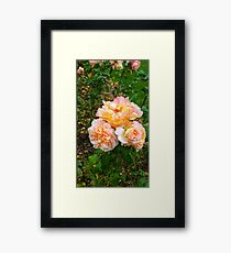 Bunch of Orange and Pink Roses -Queen Mary's Rose Garden Framed Print