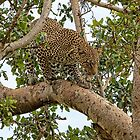 Leopard On the Move by Kay Brewer