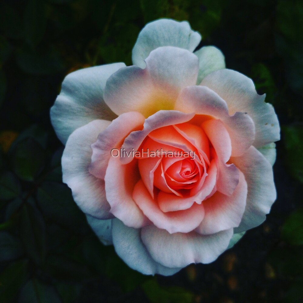 Favorite Rose  by OliviaHathaway