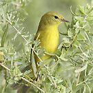 Orange-crowned Warbler by tomryan