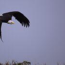 Bald Eagle by Anne-Marie Bokslag