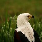 African Fish Eagle by Anne-Marie Bokslag