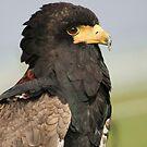 Portrait of a Bateleur Eagle by Anne-Marie Bokslag