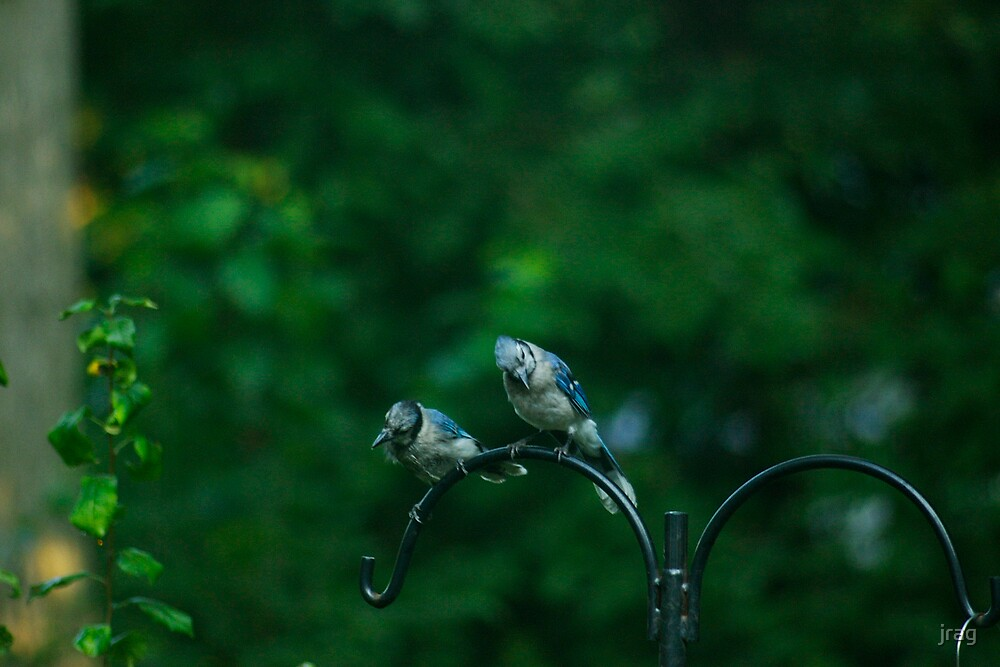 2 jays hanging out by jrag