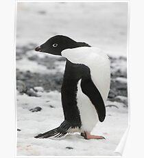 Adelie Penguin Poster