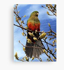 King Parrot in Magnolia Tree #2 Canvas Print