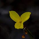 Yellow Flag (Patersonia umbrosa var. xanthina) by Elaine Teague