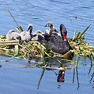 Black Swan & Cygnets resting by Bev Pascoe