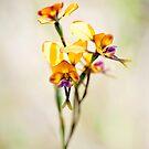 Donkey orchid WA by nadine henley
