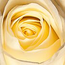 White Rose canvas poster print by Dave  Frost