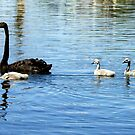 Black Swan with Cygnets by Bev Pascoe