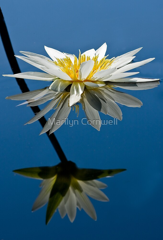 Water Lily Dream by Marilyn Cornwell