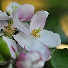 Apple blossom time by Heather Thorsen