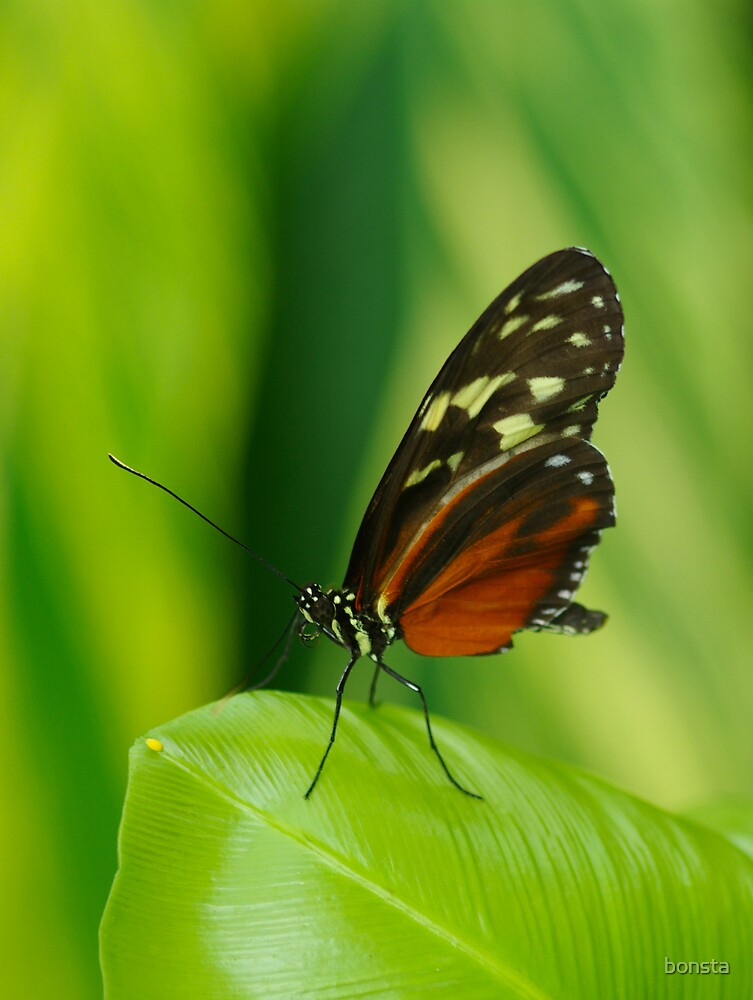 Butterfly by bonsta