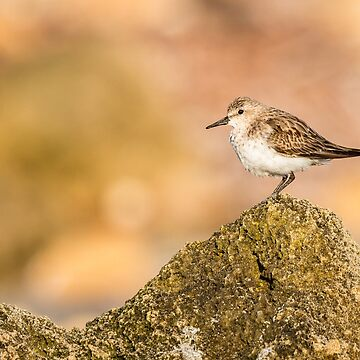 Red-necked Stint on a Rock by Frogvision