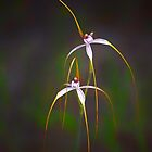 Spider orchid at Wireless Hill by nadine henley