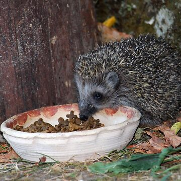 A Wild Baby Hedgehog (Erinaceidae) Eating Supper in Our Garden in Romania  by ZipaC