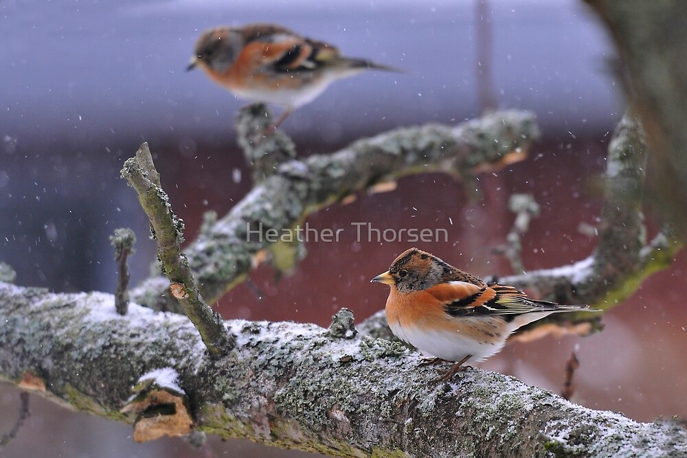 Bramblings in the snow by Heather Thorsen