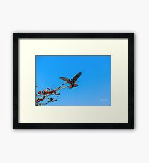 Red Tailed Black Cockatoo Framed Print