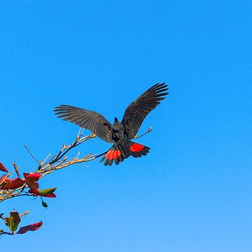 Red Tailed Black Cockatoo by JPPhotographix