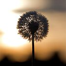 Sunrise Dandelion by H A Waring Johnson