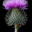 Blooming Thistle by toby snelgrove  IPA